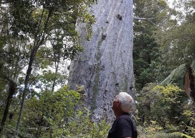 Person riding an Omeo looking up at a large Kauri tree